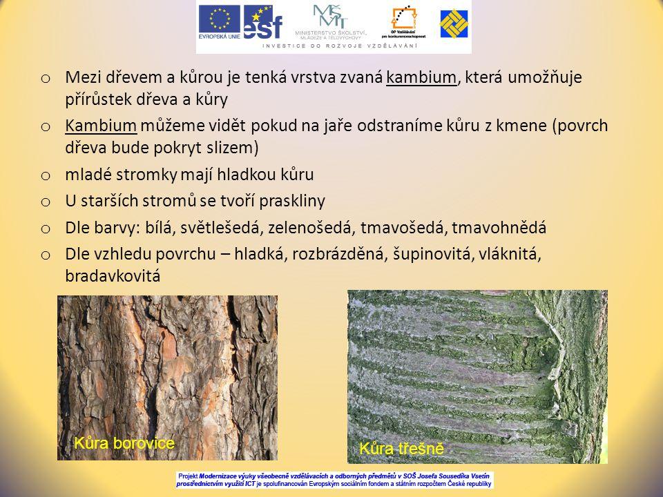 mladé stromky mají hladkou kůru U starších stromů se tvoří praskliny