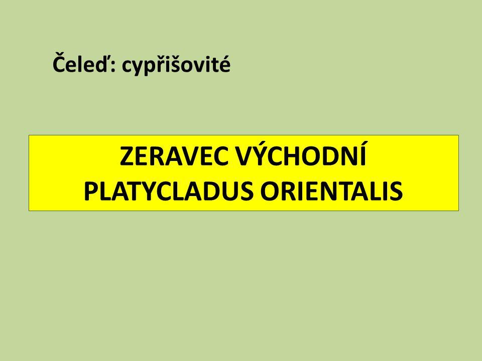 ZERAVEC VÝCHODNÍ PLATYCLADUS ORIENTALIS