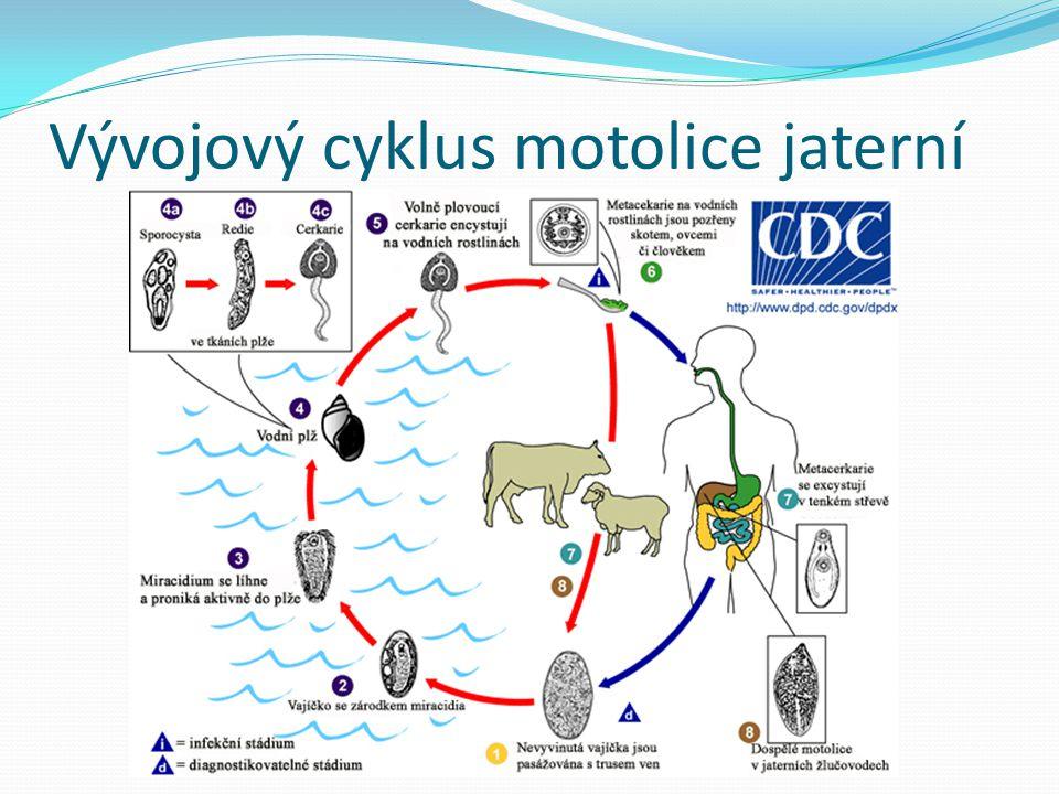 Vývojový cyklus motolice jaterní