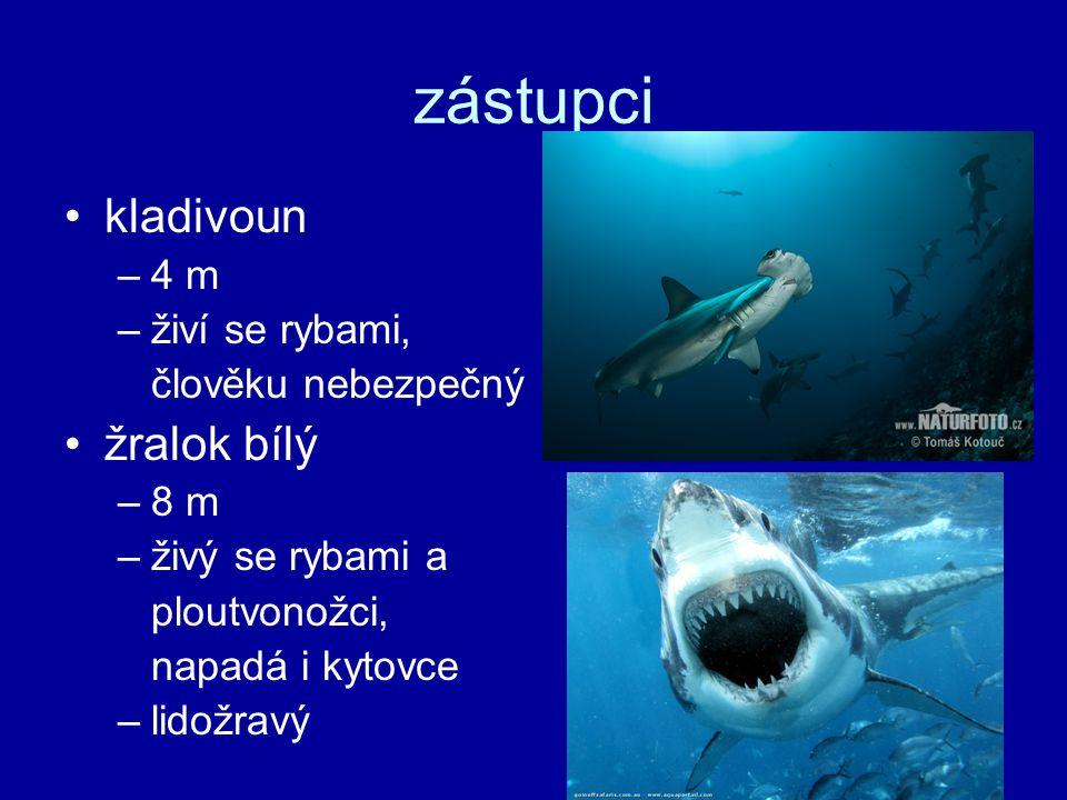zástupci kladivoun žralok bílý 4 m živí se rybami, člověku nebezpečný