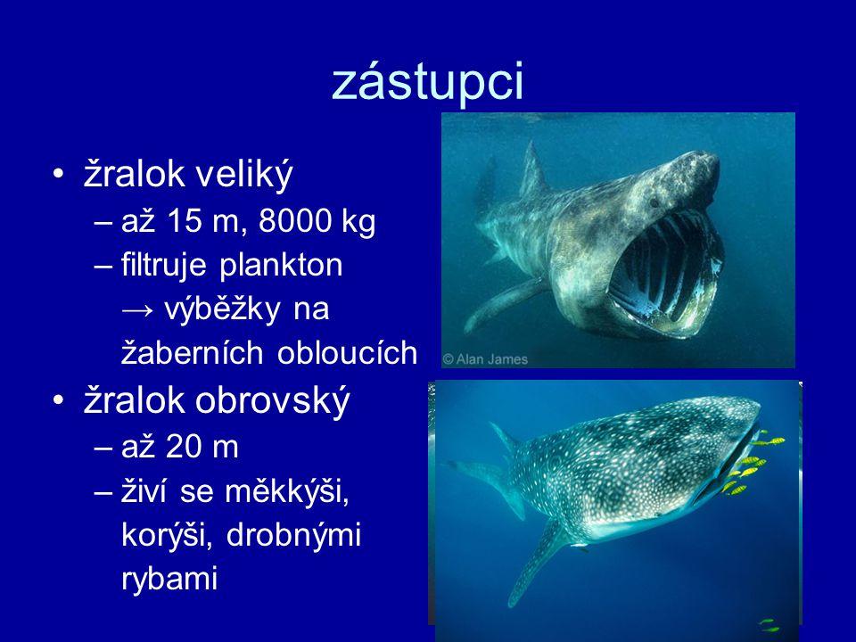 zástupci žralok veliký žralok obrovský až 15 m, 8000 kg