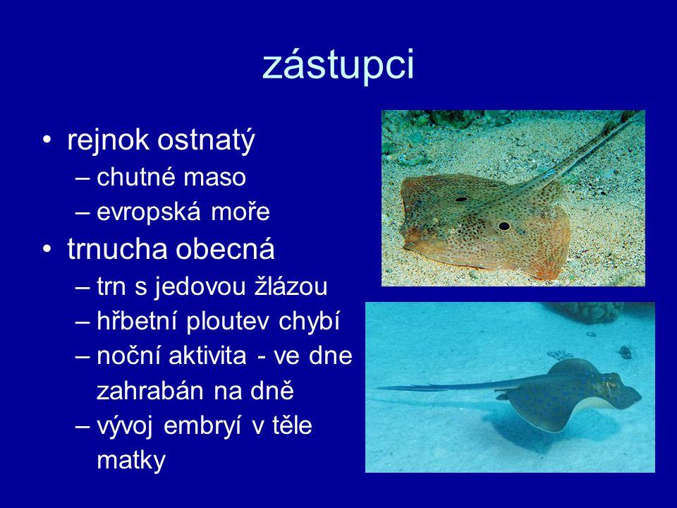 zástupci rejnok ostnatý trnucha obecná chutné maso evropská moře