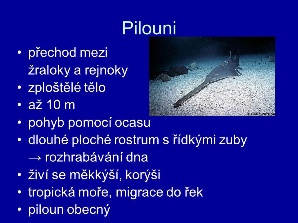 Pilouni přechod mezi žraloky a rejnoky zploštělé tělo až 10 m