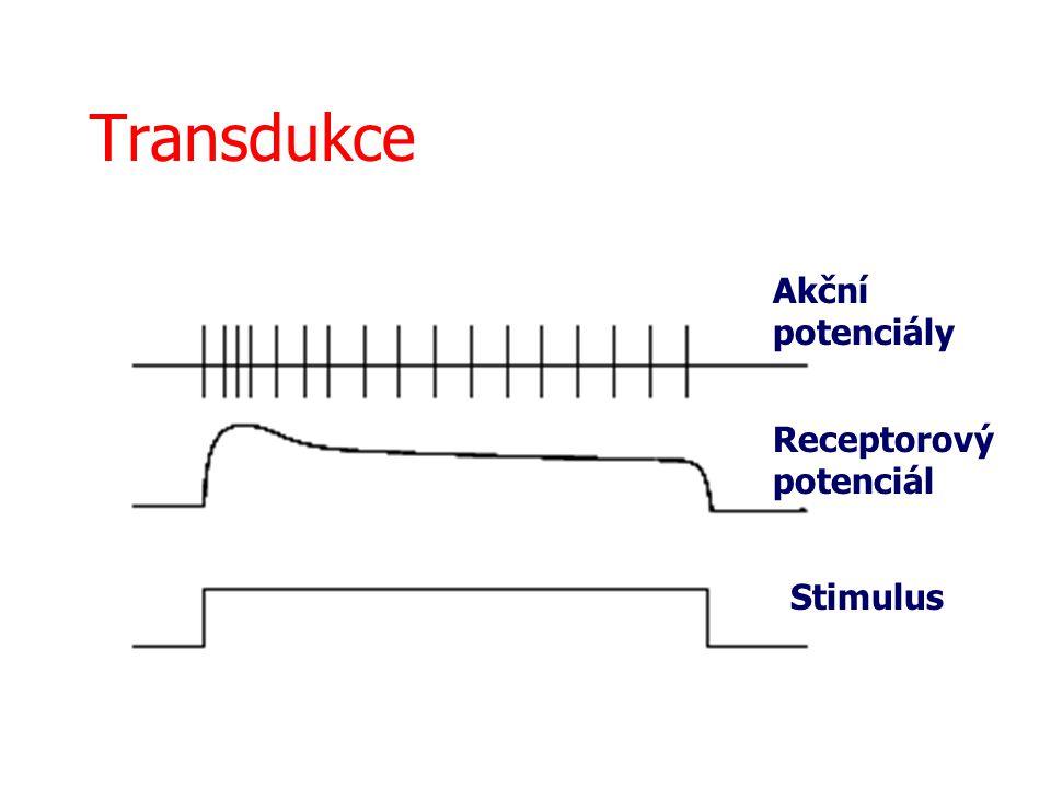 Transdukce Akční potenciály Receptorový potenciál Stimulus