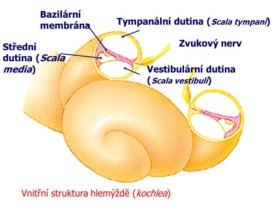 Bazilární membrána Tympanální dutina (Scala tympani) Zvukový nerv. Střední dutina (Scala media) Vestibulární dutina.