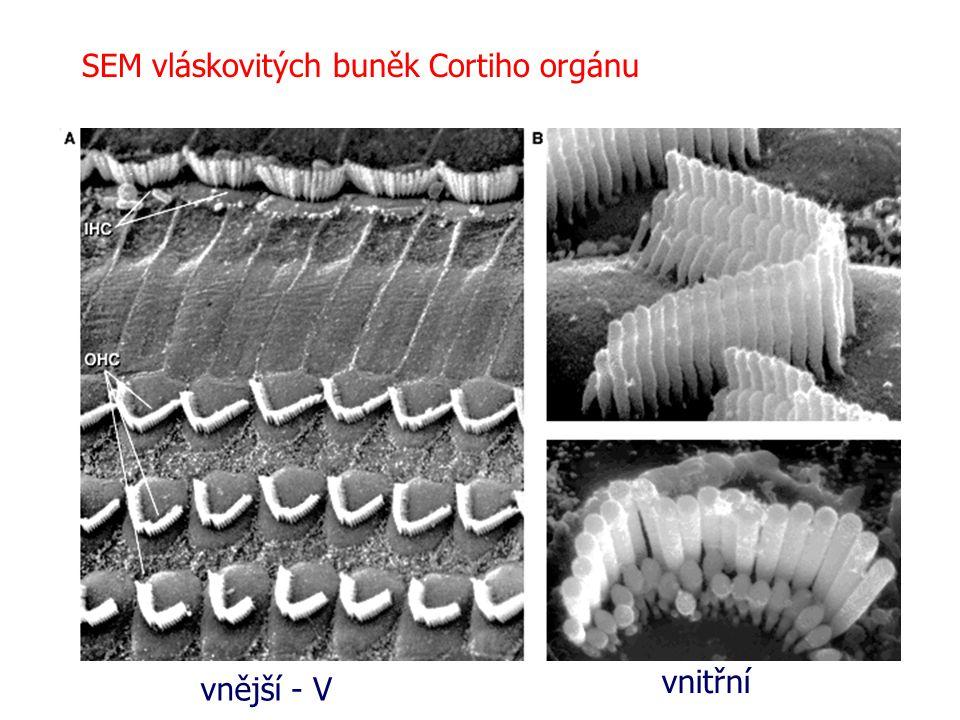 SEM vláskovitých buněk Cortiho orgánu