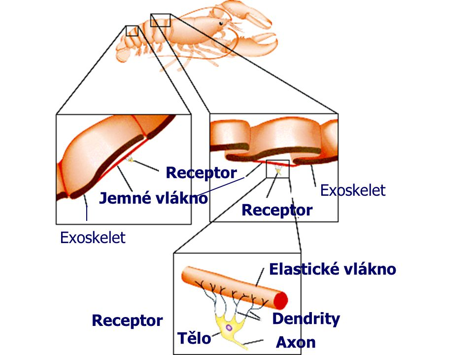 Receptor Exoskelet Jemné vlákno Receptor Exoskelet Elastické vlákno Receptor Dendrity Tělo Axon