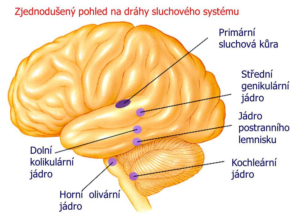 Zjednodušený pohled na dráhy sluchového systému