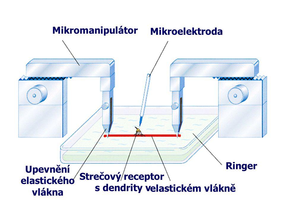 Upevnění elastického vlákna