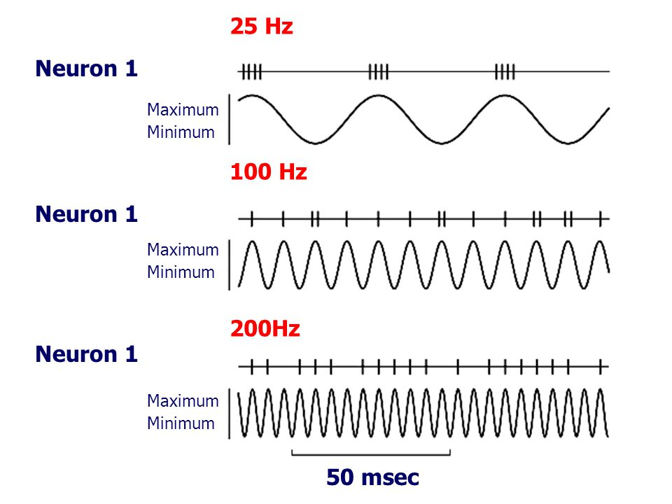 25 Hz Neuron 1 100 Hz Neuron 1 200Hz Neuron 1 50 msec Maximum Minimum