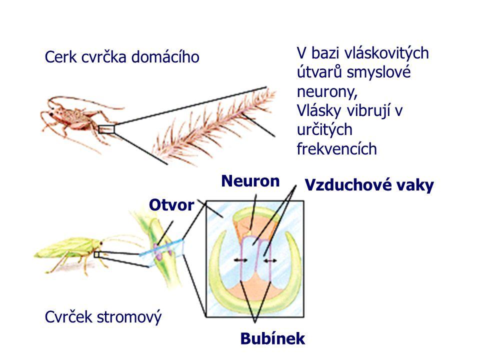 V bazi vláskovitých útvarů smyslové neurony, Vlásky vibrují v určitých frekvencích. Cerk cvrčka domácího.