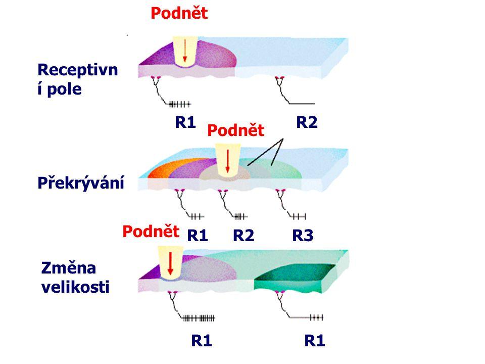 Podnět Receptivní pole R1 R2 Podnět Překrývání Podnět R1 R2 R3 Změna velikosti R1 R1