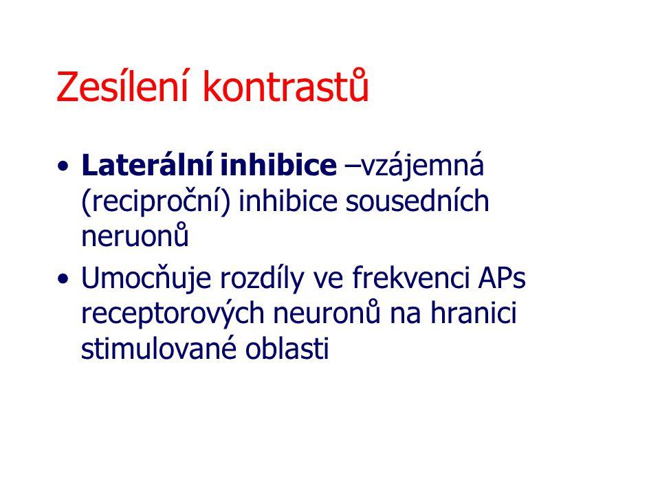 Zesílení kontrastů Laterální inhibice –vzájemná (reciproční) inhibice sousedních neruonů.