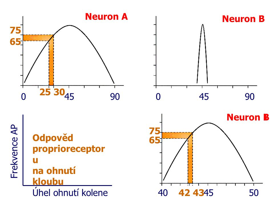 Neuron A Neuron B. 75. 65. 25 30. 45. 90. 45. 90. 40. 45. 50. 65. 75. 42 43. Neuron B.