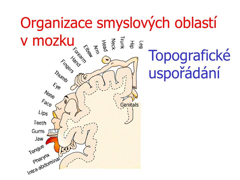 Organizace smyslových oblastí v mozku