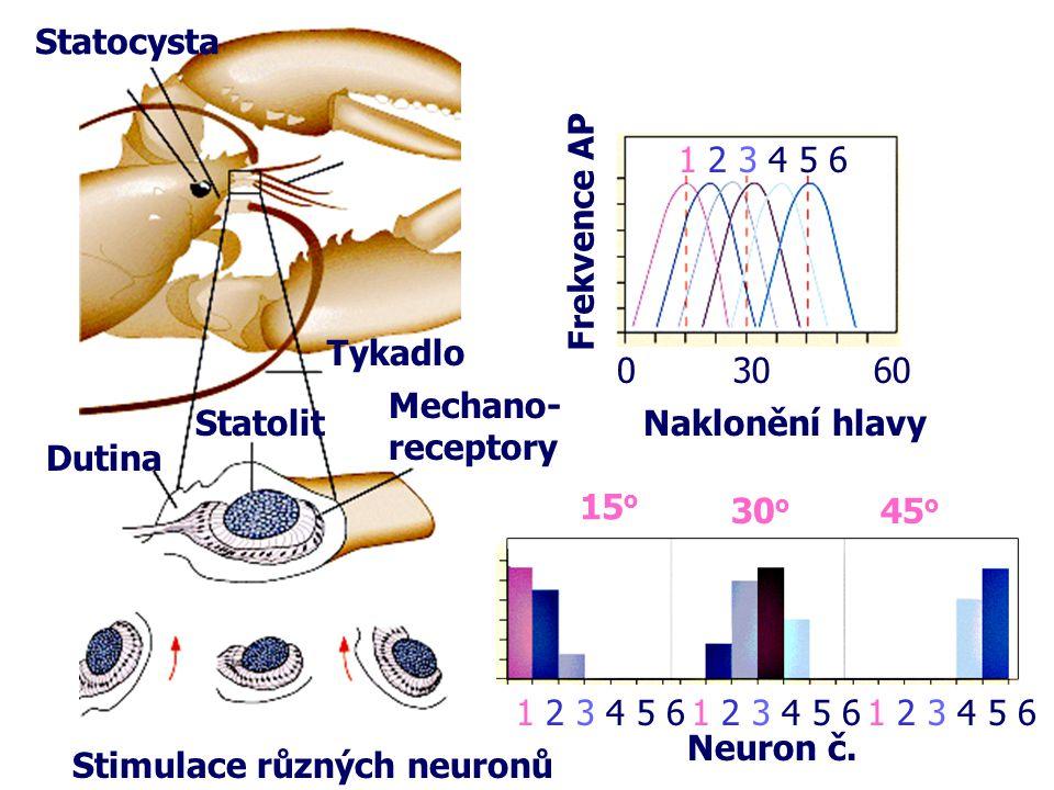 Statocysta 30. 60. 1 2 3 4 5 6. Frekvence AP. Tykadlo. Mechano- receptory. Statolit. Naklonění hlavy.