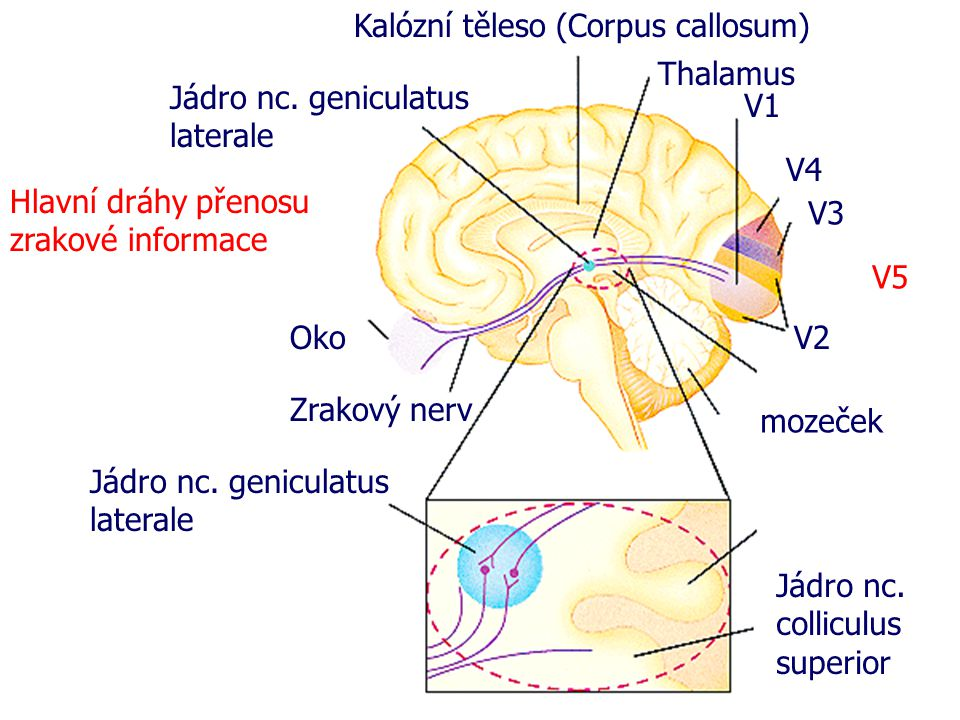 Kalózní těleso (Corpus callosum)