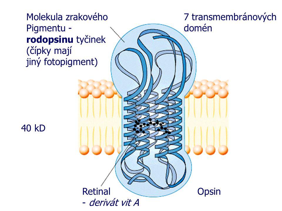 Molekula zrakového Pigmentu - rodopsinu tyčinek. (čípky mají. jiný fotopigment) 7 transmembránových domén.