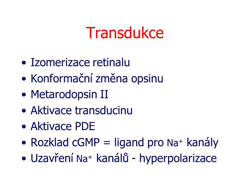 Transdukce Izomerizace retinalu Konformační změna opsinu