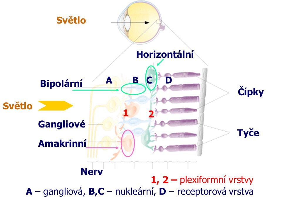 Světlo Horizontální. A. B. C. D. Bipolární. Čípky. Světlo. Gangliové. 1. 2. Tyče. Amakrinní.