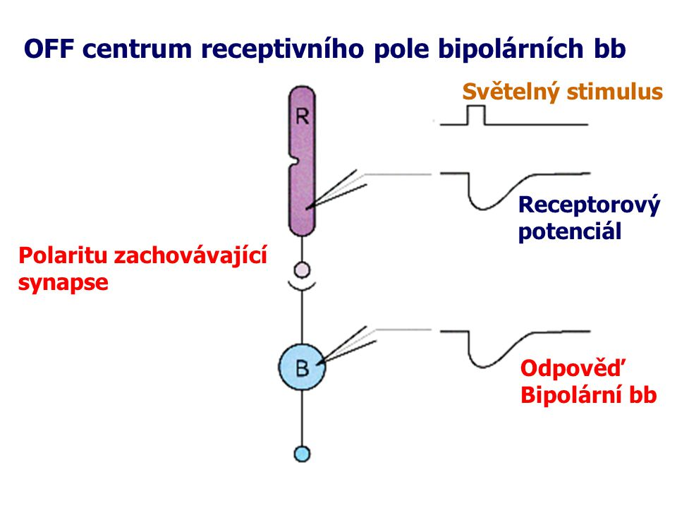 OFF centrum receptivního pole bipolárních bb