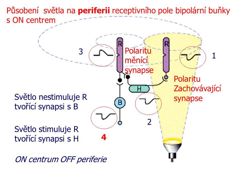 Působení světla na periferii receptivního pole bipolární buňky s ON centrem
