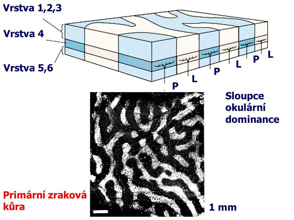 Vrstva 1,2,3 Vrstva 4 L P L Vrstva 5,6 P L P Sloupce okulární dominance Primární zraková kůra 1 mm