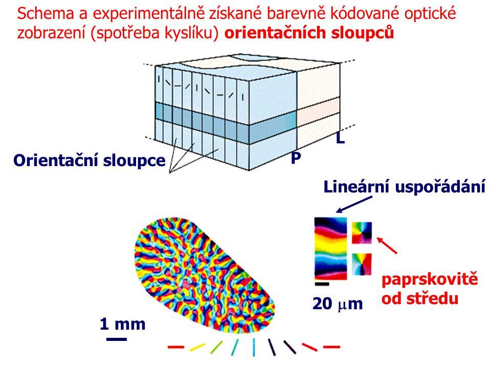 Schema a experimentálně získané barevně kódované optické zobrazení (spotřeba kyslíku) orientačních sloupců