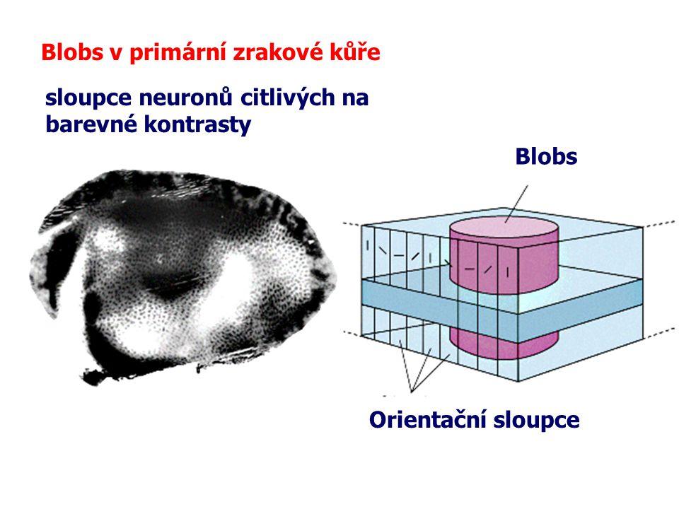 Blobs v primární zrakové kůře