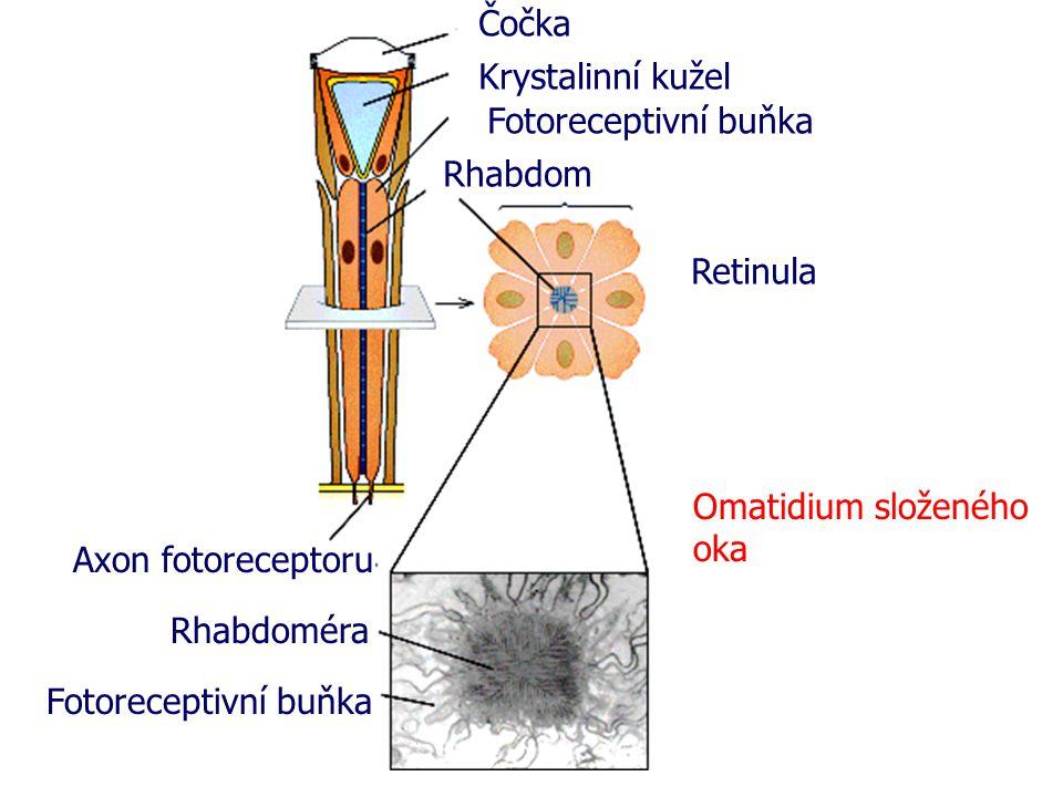 Čočka Krystalinní kužel. Fotoreceptivní buňka. Rhabdom. Retinula. Omatidium složeného oka. Axon fotoreceptoru.