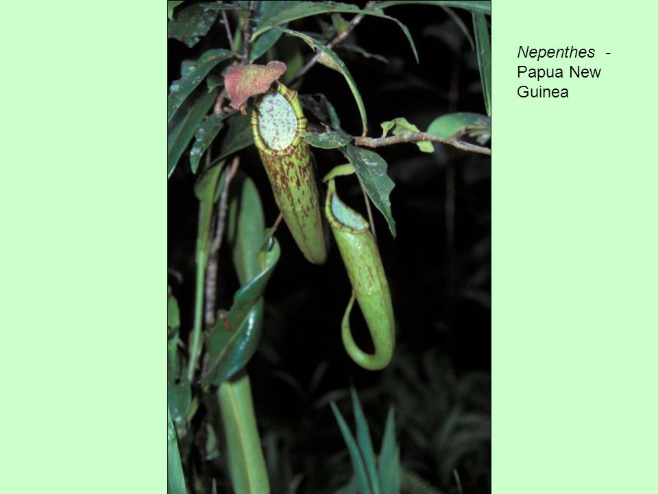 Nepenthes - Papua New Guinea