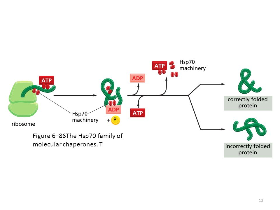 Figure 6–86The Hsp70 family of