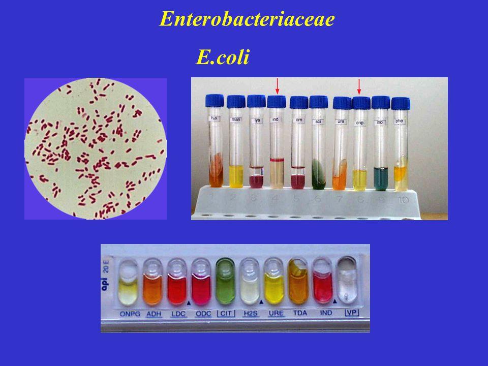 Enterobacteriaceae E.coli