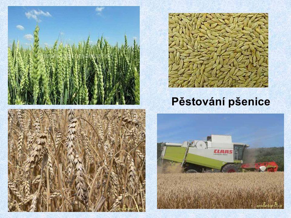 Pěstování pšenice
