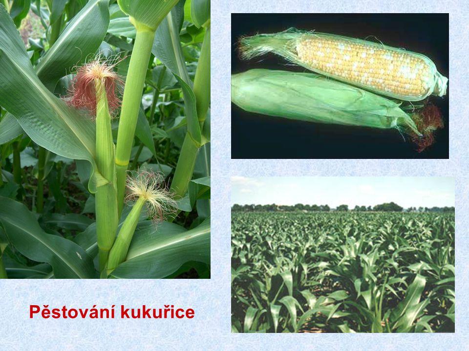 Pěstování kukuřice