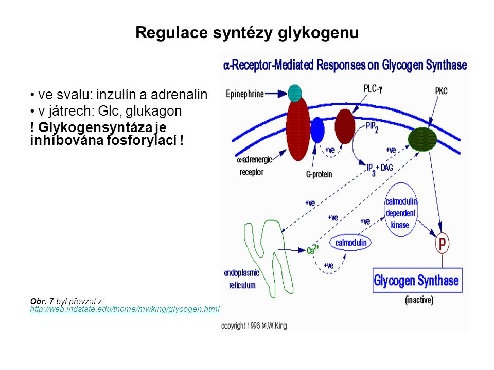 Regulace syntézy glykogenu