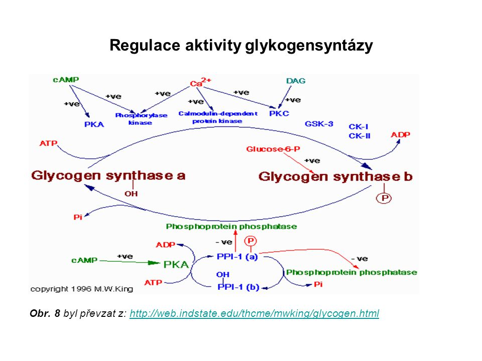 Regulace aktivity glykogensyntázy