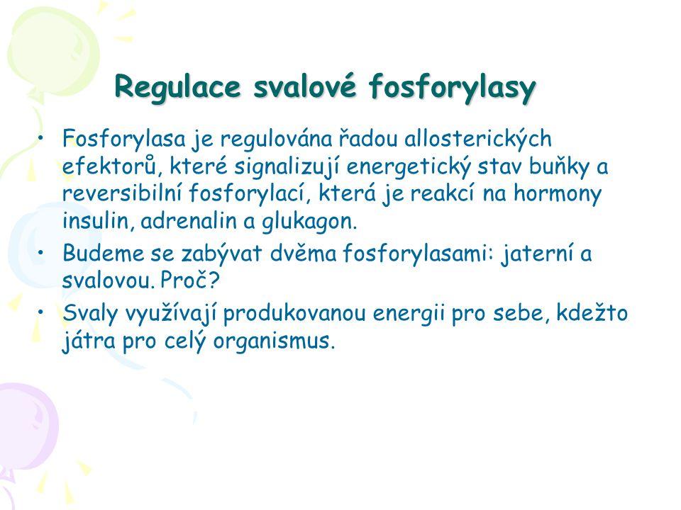 Regulace svalové fosforylasy