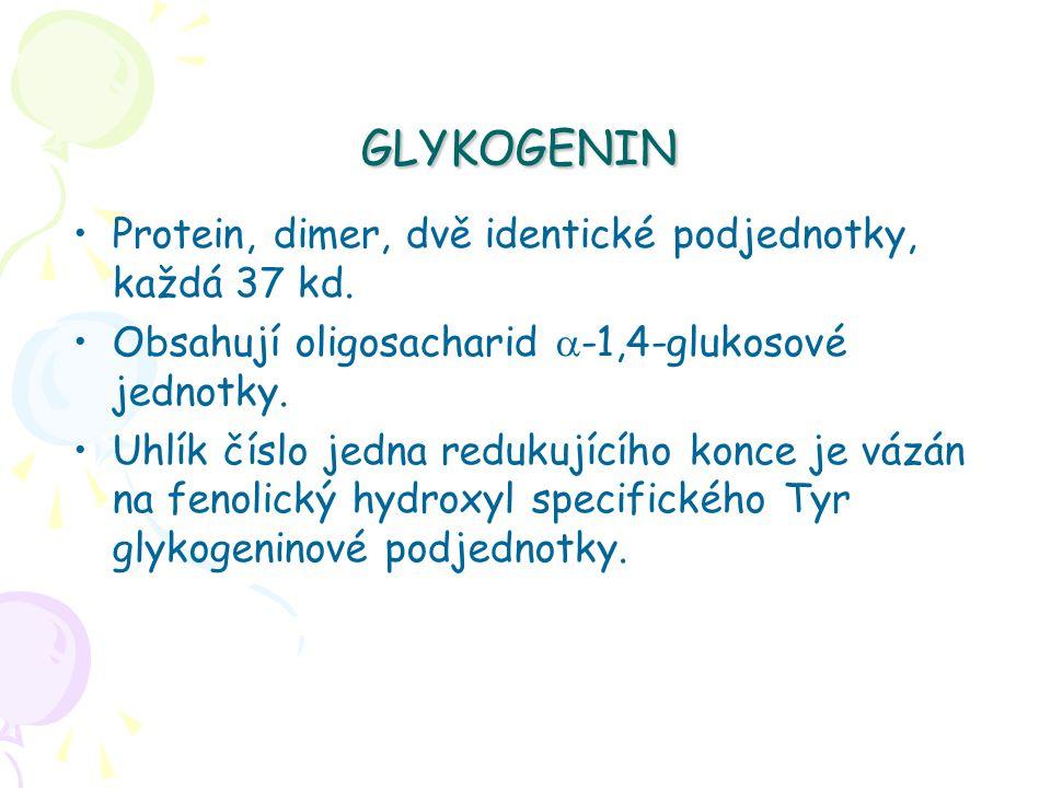 GLYKOGENIN Protein, dimer, dvě identické podjednotky, každá 37 kd.