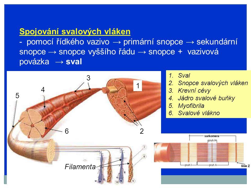 Spojování svalových vláken