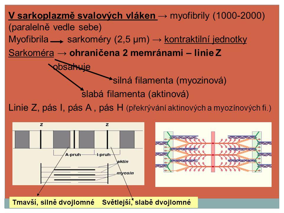 Myofibrila sarkoméry (2,5 μm) → kontraktilní jednotky
