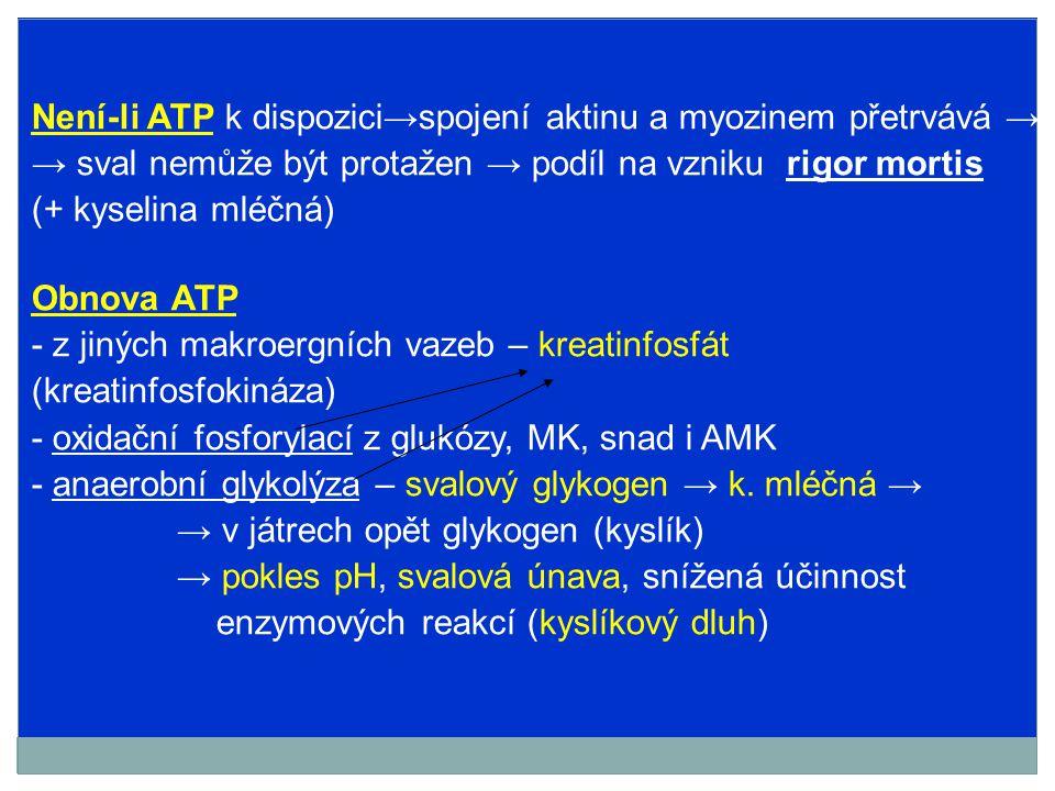 Není-li ATP k dispozici→spojení aktinu a myozinem přetrvává → → sval nemůže být protažen → podíl na vzniku rigor mortis