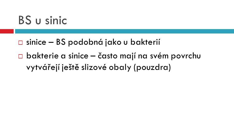 BS u sinic sinice – BS podobná jako u bakterií