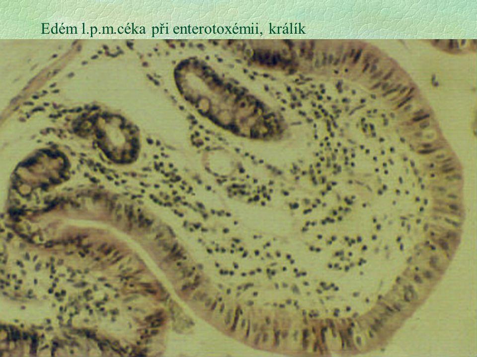 Edém l.p.m.céka při enterotoxémii, králík