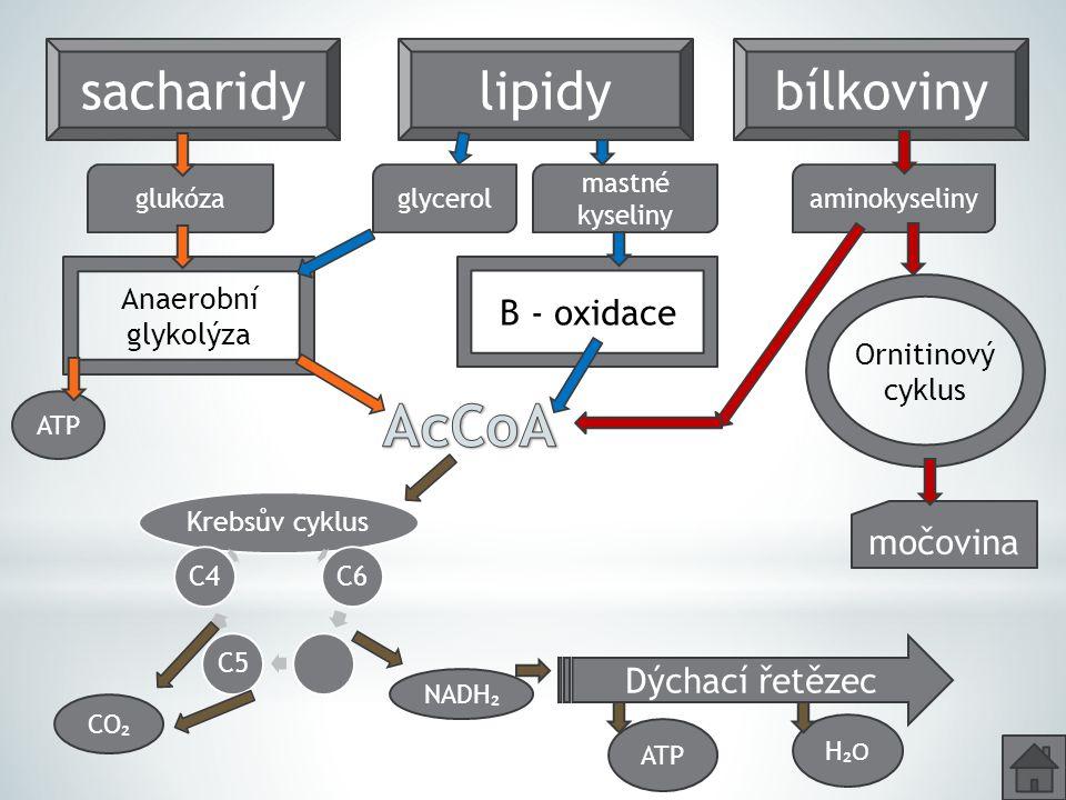 AcCoA sacharidy lipidy bílkoviny Β - oxidace močovina Dýchací řetězec