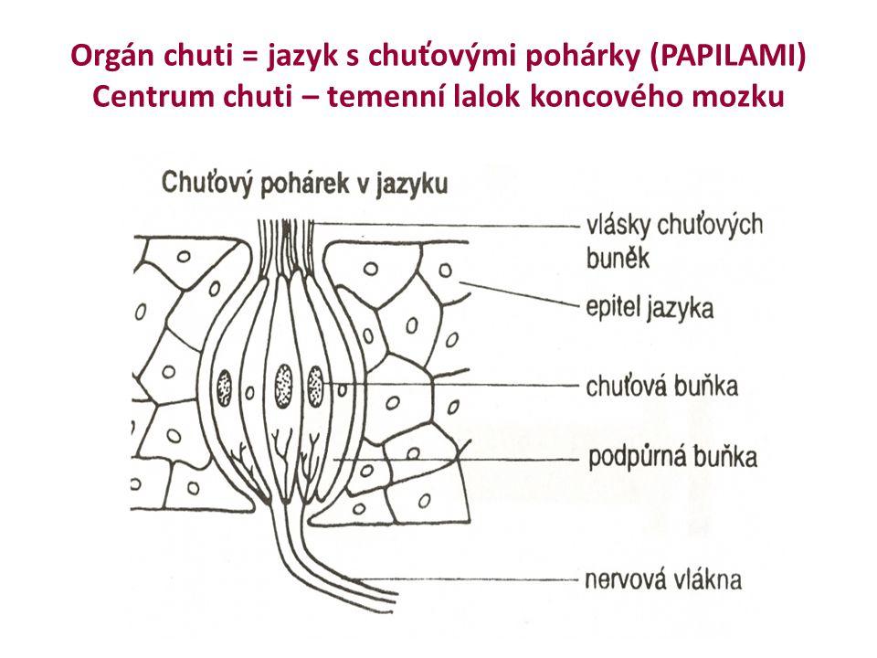 Orgán chuti = jazyk s chuťovými pohárky (PAPILAMI) Centrum chuti – temenní lalok koncového mozku