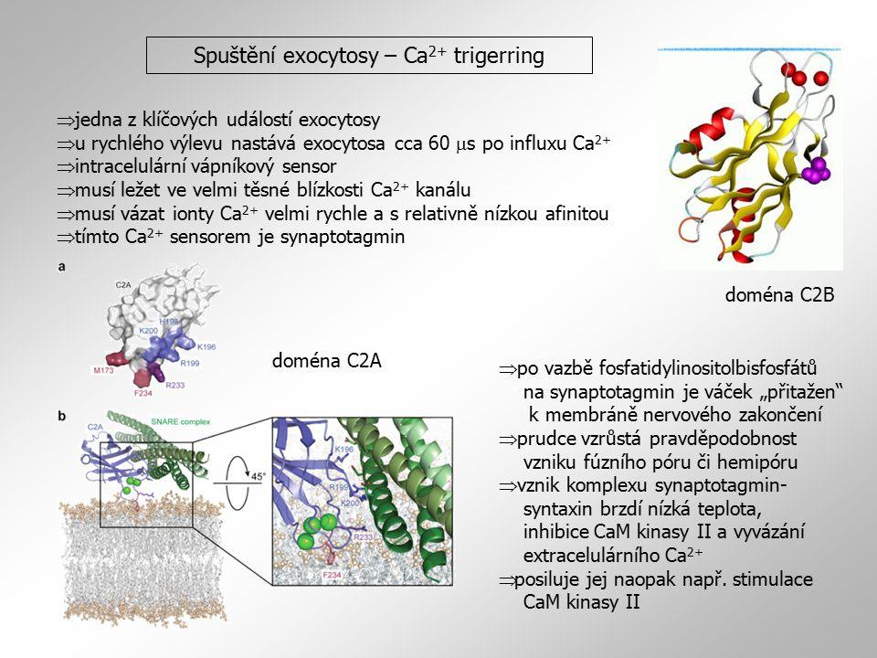 Spuštění exocytosy – Ca2+ trigerring