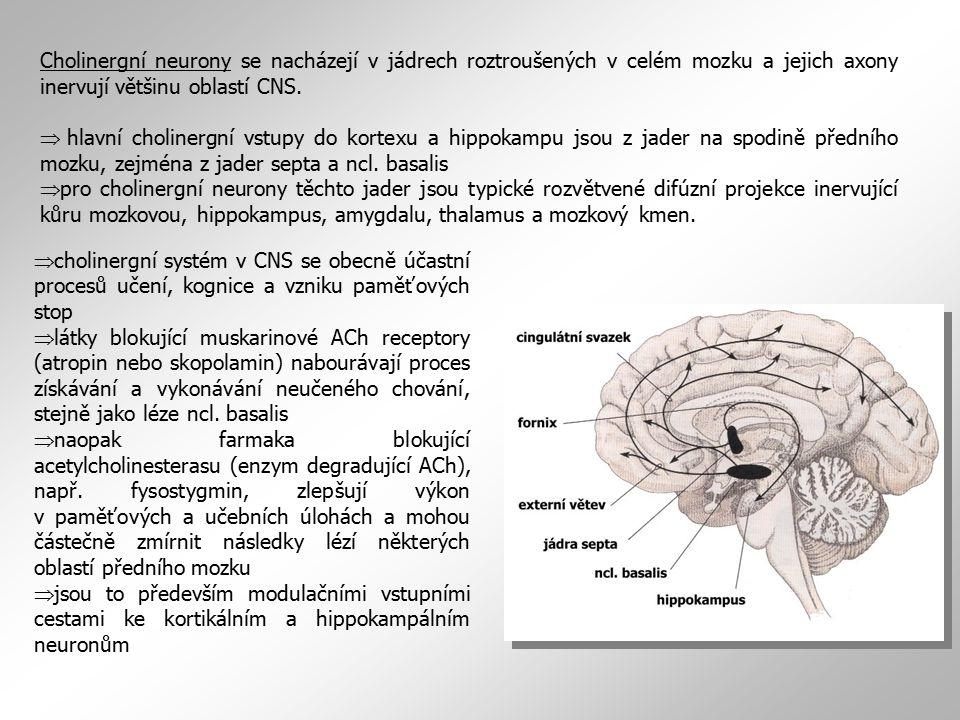 Cholinergní neurony se nacházejí v jádrech roztroušených v celém mozku a jejich axony inervují většinu oblastí CNS.