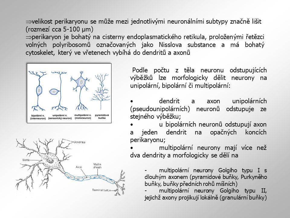 velikost perikaryonu se může mezi jednotlivými neuronálními subtypy značně lišit