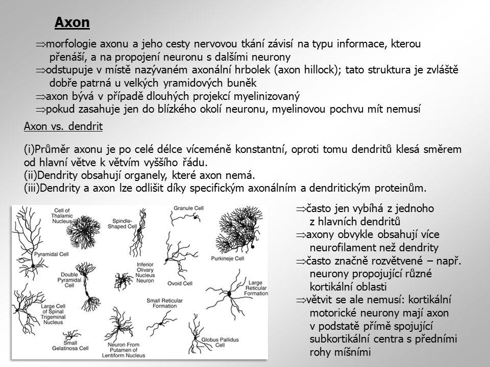 Axon morfologie axonu a jeho cesty nervovou tkání závisí na typu informace, kterou přenáší, a na propojení neuronu s dalšími neurony.